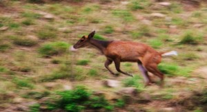 Barking deer at Mandhna, Morni hills