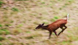 Barking deer at Mandhna, Khol-hai-Raitan WLS