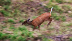 Barking deer's head lowered and tail raised while running