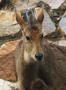 Goral close-up