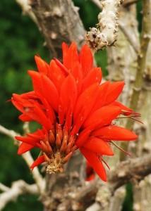 Indian Coral Tree-Flower, Kohlan, Morni hills