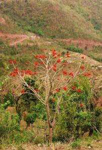 Indian Coral Tree, Kohlan, Morni hills (April)