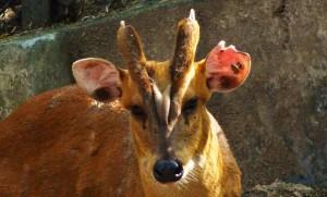 Kakar-Barking deer