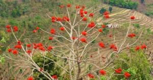 Tiger's Claw Tree, Kohlan, Morni Hills