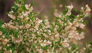 Winged Seeds of Hopbush, Mandhna-Kadiyani track