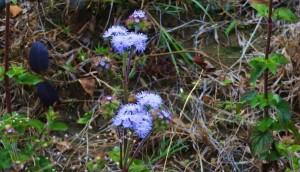Blue Billygoat Weed, Mandana, Morni hills (February)