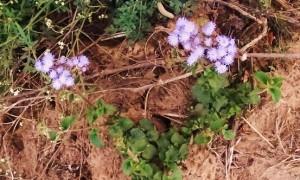 Blue Billygoat weed, Kambala, Morni hills (January)