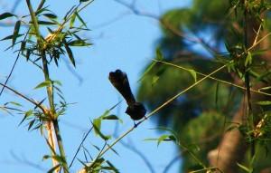 Fantail Flycatcher, Rasoon