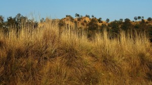 Kans grass field, Aasrewali, Morni hills