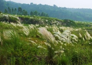 Kans grass fields near Burj-Kotian, Morni foothills