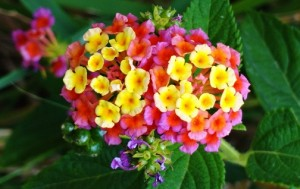 Lantana flower, Rasoon, Morni hills (April)
