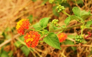Lantana flowers and berries (Photo Courtesy Zorawar Manchanda)