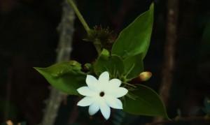 Rose Bud Jasmine, Bani, Morni hills (February)