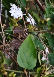 Rose Bud Jasmine- Leaves and Flowers, Bani, Morni hills (February)