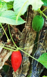 Scarlet Gourd, fruit, Rasoon, Morni hills (November)