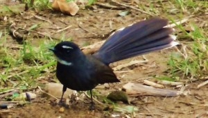 White-browed Fantail Flycatcher at Mandhana