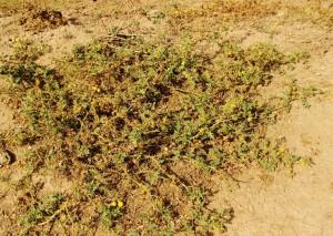 Yellow-berried Nightshade, Aasrewali, Morni hills