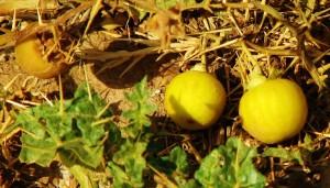 Yellow-berried Nightshade, Aasrewali, Morni hills (June)