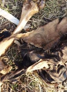 Wild boar killed at Aasrewali by leopard, Morni hills