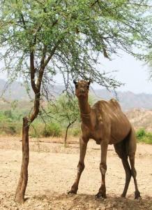 Camel at Aasrewali