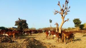 Cattle belonging to Semi-Nomadic Pastoralists of Aasrewali