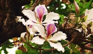 Flower of Kachnar tree, Kohlan, Morni hills (April)