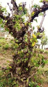 Kachnar tree trunk, Kohlan, Morni hills