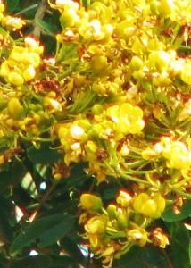 Kassod flower