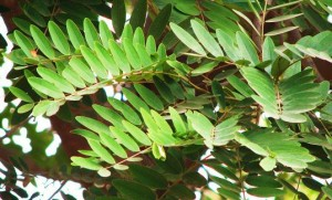 Kassod leaves