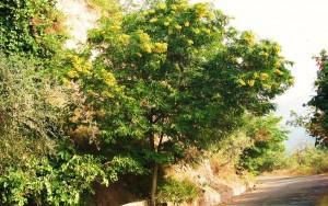 Kassod tree,road to Morni (December)