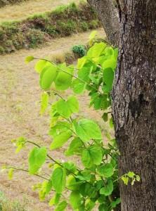 Leaves of Kachnar