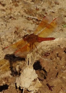 Orange Dragonfly (Flame Skimmer) at Muwas Dam, Morni hills