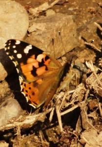 Painted Lady, Muwas