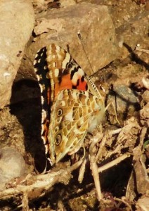 Painted Lady, water harvesting dam at Muwas, Morni hills
