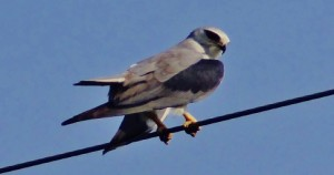 Black-winged Kite, Aasrewali-Bunga Road