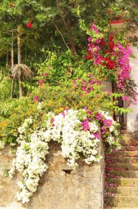 Bougainvillea at Tikkar Cottage