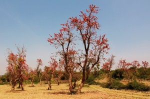 Dhak bloom at Aasrewali
