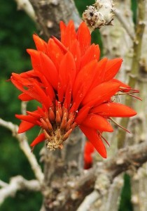 Indian Coral Tree, Kohlan, Thandog panchayat, Morni hills