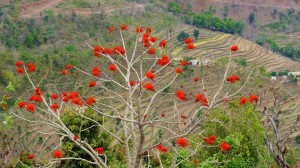 Indian Coral tree, Kohlan