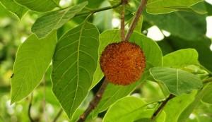 Kadamb tree, Chandimandir, Morni foothills
