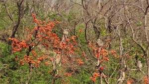 Langurs on Dhak trees