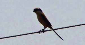 Rufous-backed Shrike on the road to Belwali
