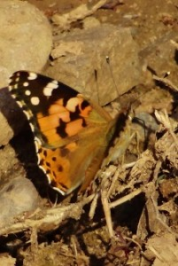 The Painted-Lady, Muwas Dam