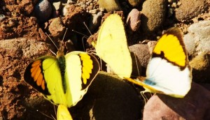Yellow Orange Tips, Berwala nallah, Morni hills