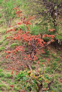 Dhak tree, Mandhna-Kadiyani track