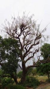 Drumstick tree at Jallah