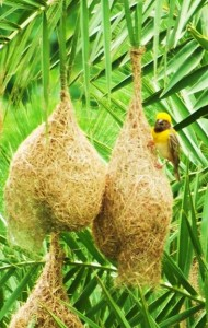 Baya Weaver Nest, Burj