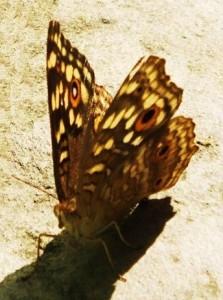 Lemon Pansy Buttterfly, Forest at Burj, Morni foothills, July
