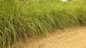 Vetiver (20 months growth) at Sona, Shivalik Foothills, Hoshiarpur