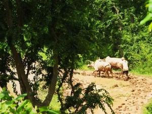 Farmer ploughing paddy fields at Thalapur, Morni hills